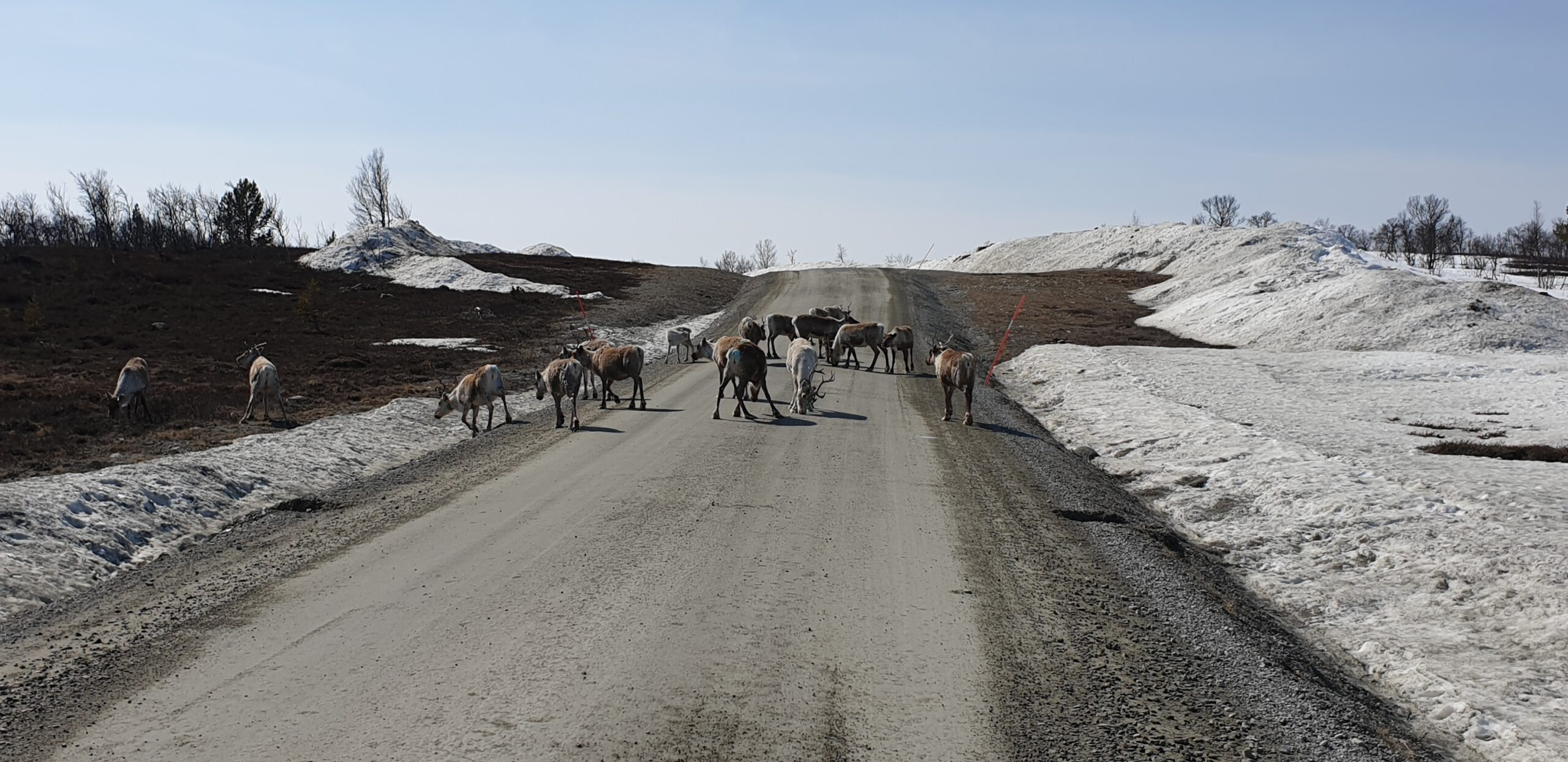 reindeer on the road
